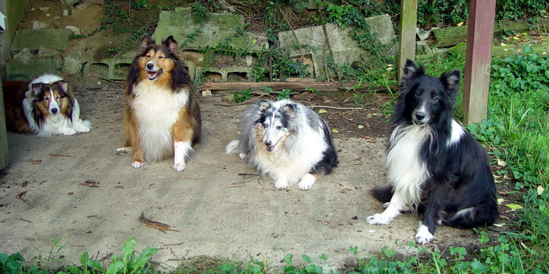 four sheltie picture, Angel Lily Sybil and Rayder.