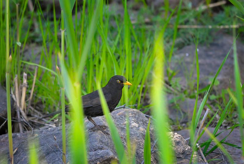 Mustarastas-Koltrast-Blackbird
