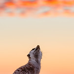A meerkat gazes at the sunset in Namibia's Naukluft mountains.
