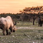 Locked in a territorial dispute, one black rhino prepares to charge another.