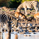 Zebra drink from an Etosha waterhole at sunset while black faced impala spar in the background.