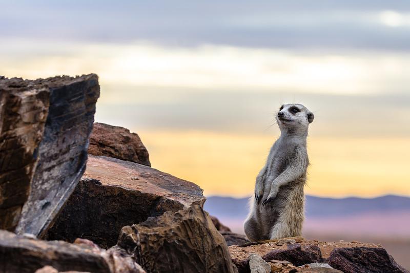 A meerkat emerges at dusk from his den in the Naukluft mountains.
