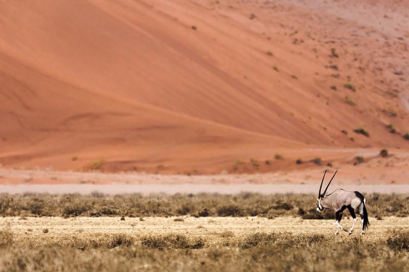 A gemsbok walks beneath the towering dunes of the Namib desert.