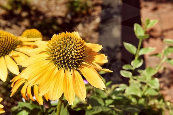 Dahlonega_Flower_2320