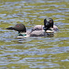 Common Loon, Itasca State Park
