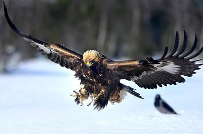 Maakotka    Kungsörnen    Golden eagle