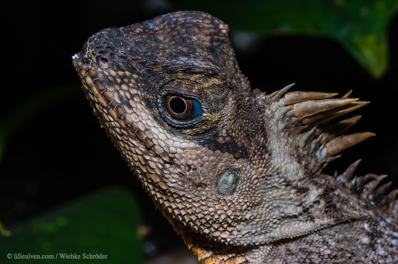 Southern Forest Dragon