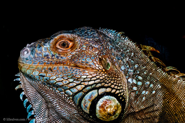 Green iguana - profile
