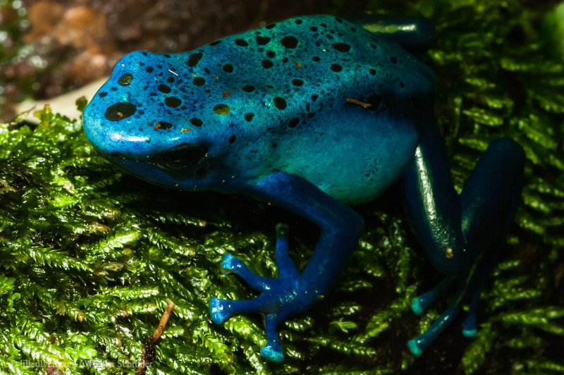 What are you planning - Blue Poison Arrow Frog
