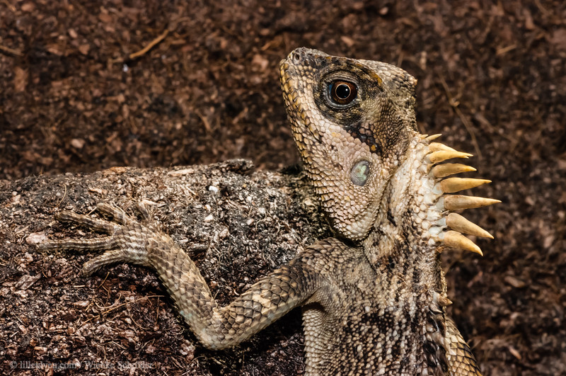 Central Bearded Dragon - pogona vitticeps