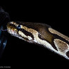Let me help clean your lens, the Boa constrictor imperator said