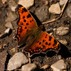 Polygonia Comma Butterfly