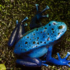 Poison Arrow Frog