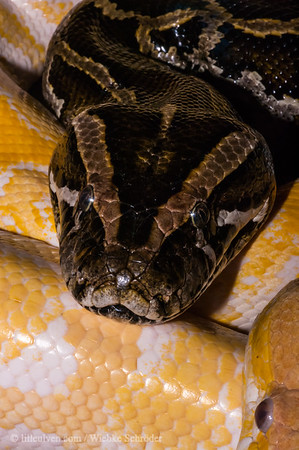 "<span class=""wsc_subtitle"">St. Hanshaugen, Oslo, Oslo, Norway</span>  Boa constrictor imperator, a nonpoisonous snake found in tropical Central and South America. They live primarily in hollow logs and abandoned mammal burrows and are excellent swimmers yet prefer the dry land. They can grow up to 4m (13 ft) long and to a weight up to 27kg (60lbs). They use their small hooked teath for grabbing and holding the pray while squeezing it to suffocation. More information can be found here: http://animals.nationalgeographic.com/animals/reptiles/boa-constrictor/"