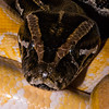 """<span class=""""wsc_subtitle"""">St. Hanshaugen, Oslo, Oslo, Norway</span>  Boa constrictor imperator, a nonpoisonous snake found in tropical Central and South America. They live primarily in hollow logs and abandoned mammal burrows and are excellent swimmers yet prefer the dry land. They can grow up to 4m (13 ft) long and to a weight up to 27kg (60lbs). They use their small hooked teath for grabbing and holding the pray while squeezing it to suffocation. More information can be found here: http://animals.nationalgeographic.com/animals/reptiles/boa-constrictor/   <span class=""""wsc_subtitle_small""""> uuid=""""17DA10F5-8213-492D-8ADD-14F42C87A7B0"""" id=""""Norway lilleulven.com 20140423_212745_NO_Oslo_Oslo_-2-2-2.dng Animal Macro Lilleulven.com""""</span>"""