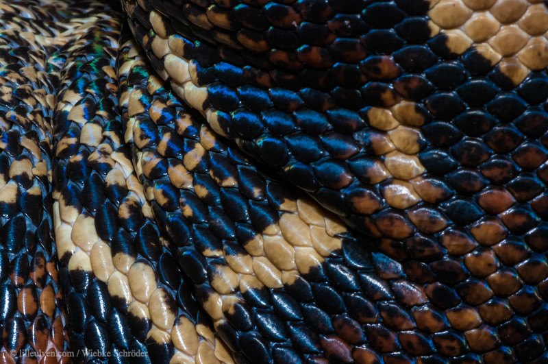 Skin of a boa constrictor imperator