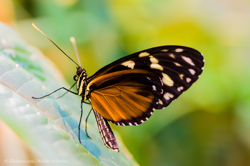 Spottet Tiger Longwing - Heliconius hecale
