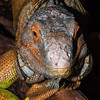 The green iguana is watching you...