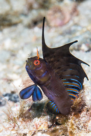 Sailfin Blenny