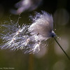 Hare's-tail cottongrass - Eriophorum vaginatum