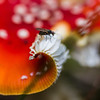 Fly on a fly agaric