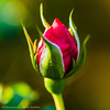 Bud of a red rose