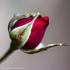 Rose bud with a surprise
