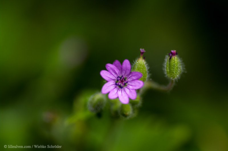 Dove's-foot Crane's bill - Geranium molle