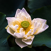 Sacret Lotus • Indian Lotus (Nelumbo nucifera)