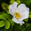 Round-leaved Dog-rose (Rosa obtusifolia)