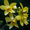 Yellow ground orchid - Spathoglottis kimballiana