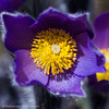 Small Pasqueflower (Pulsatilla pratensis)