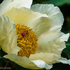 Molly the Witch - Paeonia mlokosewitschii
