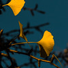Autumn colored gingko leaves