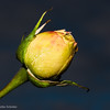 Yellow Rose against the dark sky