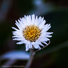 Marlborough Rock Daisy