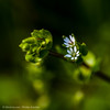 Common chickweed - Stellaria media