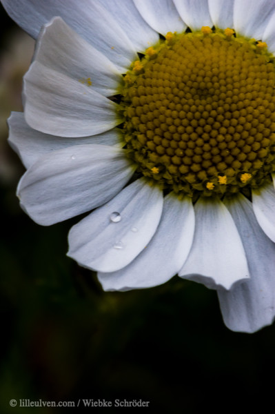 Common Daisy with droplets