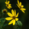 Wild-leaved sunflower