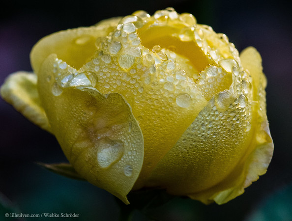 Yellow Rose with waterdroplets