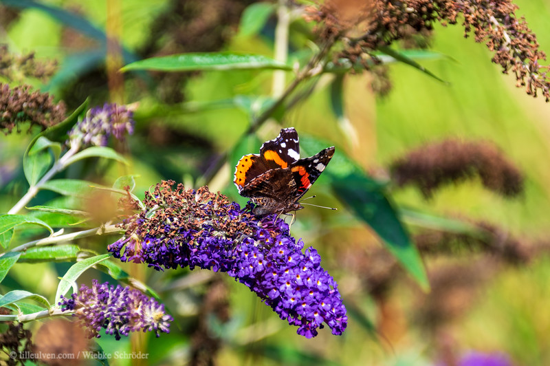 Summer lillac and a Red Admiral