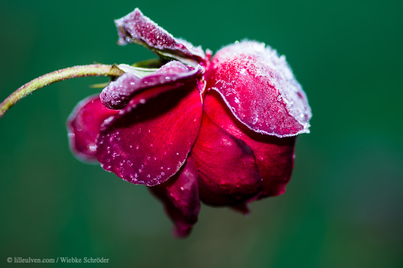 Icy red rose