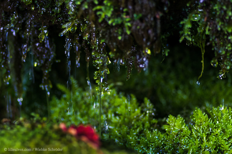 Forest walk and dripping moss