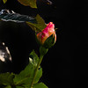 """<span class=""""wsc_Subtitle"""">Dörverden, Niedersachsen • Germany</span>   Roses blossoming for a second time in November 2014 - during a rather warm fall. Maybe the first signs we can no longer ignore that the climate change is coming?"""