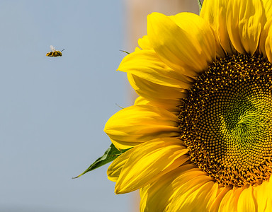 """""""Bee""""line to the Pollen"""