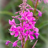 Fireweed Buzz