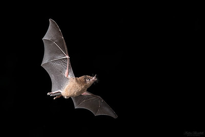 Pallas's Long-tongued Bat