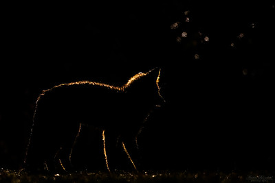 Red Fox with backlight