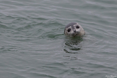 Larga Seal