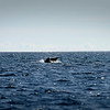 Harmaahylje - Gråsäl - Grey seal